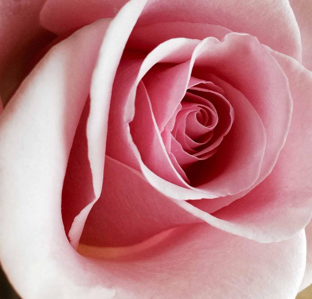 rose_rosa_blog