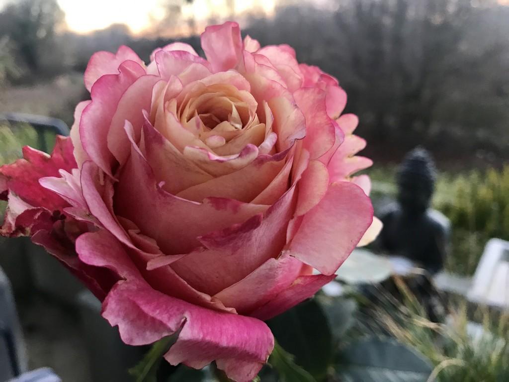 rose_januar